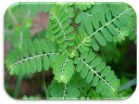 phyllanthus-300x224